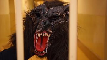 Włamania w masce wilkołaka. Jest dwóch zatrzymanych