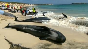 Dramat w Australii. Ze 150 wielorybów, które utknęły w zatoce przeżyło tylko 15