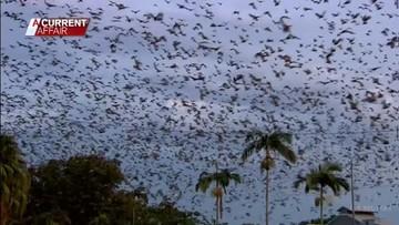 Setki tysięcy nietoperzy na ulicach. Mieszkańcy boją się wychodzić z domów [WIDEO]