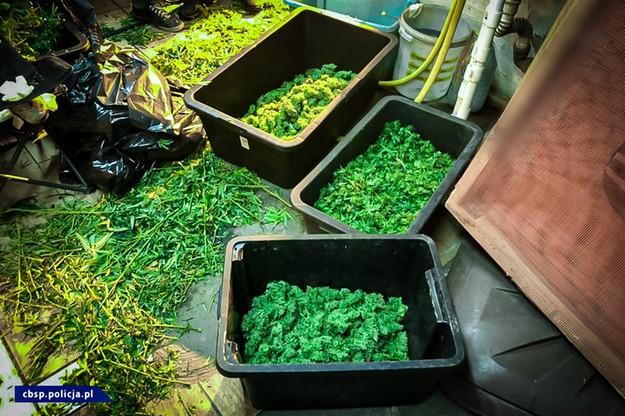 Przygotowywana marihuana warta byłaby ponad 1 mln zł