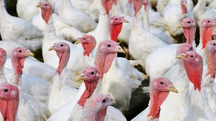 Ognisko wysoce zjadliwej grypy ptaków pod Gostyninem