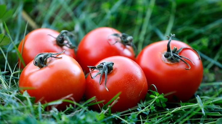 Plantator pomidorów chce zatrudnić całą drużynę ekstraklasy