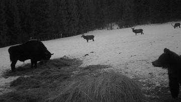Bieszczady: żubr, niedźwiedź i trzy jelenie na jednym zdjęciu z fotopułapki