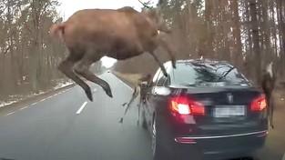 02-03-2021 09:00 Stado jeleni przebiegło przez drogę. Jeden nie zdążył i wskoczył na bagażnik samochodu [FILM]