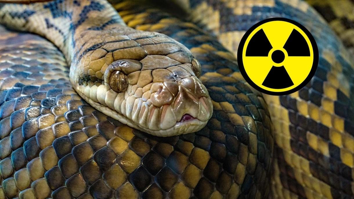 Radioaktywne węże monitorują poziom promieniowania w Fukushimie