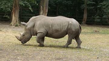Pradziejowy nosorożec odkryty pod Gorzowem Wielkopolskim. Pierwszy taki przypadek w Polsce