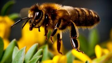 Praca pszczół w Polsce warta jest 4,1 mld zł. Zapylanie upraw oszacował Greenpeace