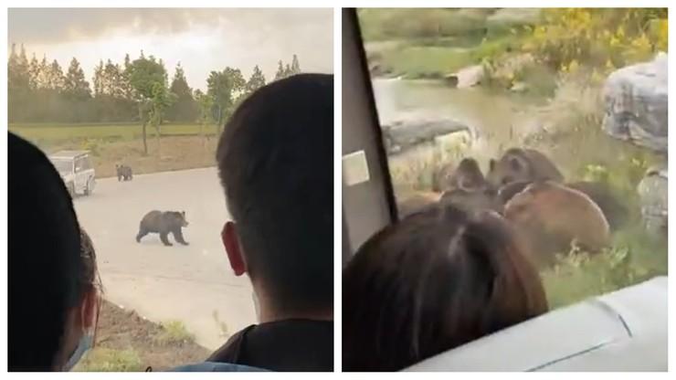 Chiny. Niedźwiedzie zabiły pracownika zoo. Wszystko działo się na oczach zwiedzających