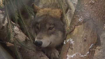 Martwe wilki na Roztoczu. Strzały miały paść z myśliwskiej ambony