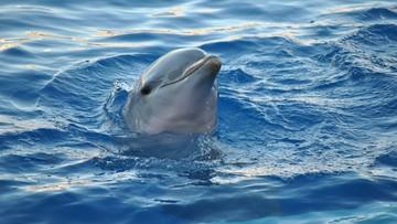 Plażowicze wyciągnęli delfina z wody, by zrobić zdjęcia. Nie przeżył