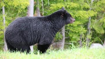 Japonia: niedźwiedzie polują na ludzi. Cztery ofiary