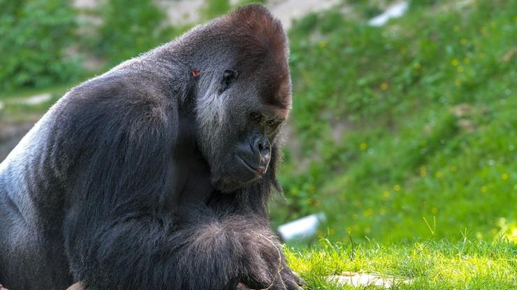Stany Zjednoczone. Goryle z zoo w Kalifornii zakażone koronawiursem. Kilka z nich kaszle