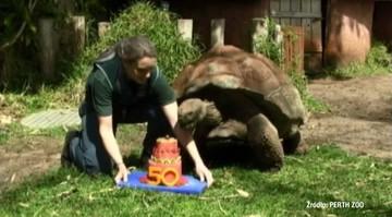 50 lat minęło. Jeden z największych żółwi świata ma już pół wieku