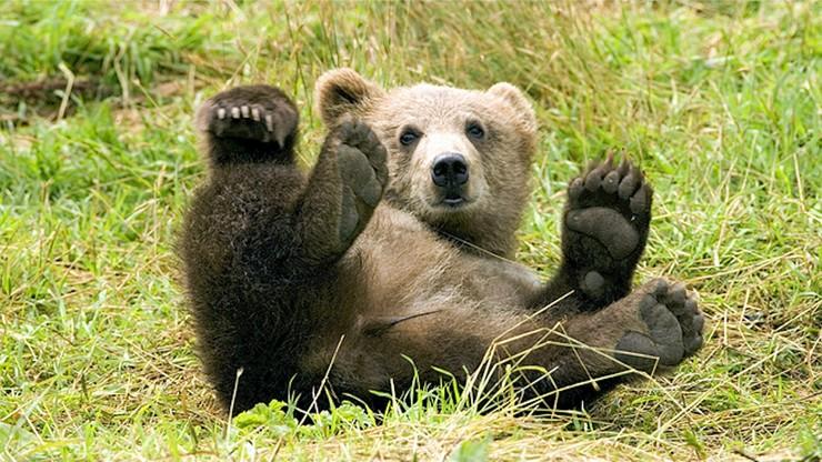 Przyrodnicy uratowali młodego niedźwiedzia w Tatrach. Nie wiadomo jednak czy zwierzę przetrwa