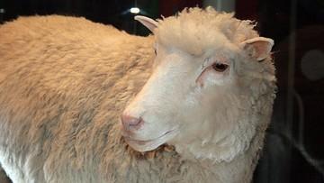 Owieczka Dolly przyszła na świat 20 lat temu