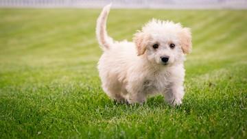 Sklep ze zwierzętami sprzedawał szczenięta zakażone koronawirusem