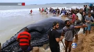 """Kilkutonowy wieloryb utknął na plaży. Turyści wykopali """"kanał"""", by mógł odpłynąć"""