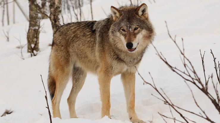 Wilk pogryzł cztery osoby na Białorusi