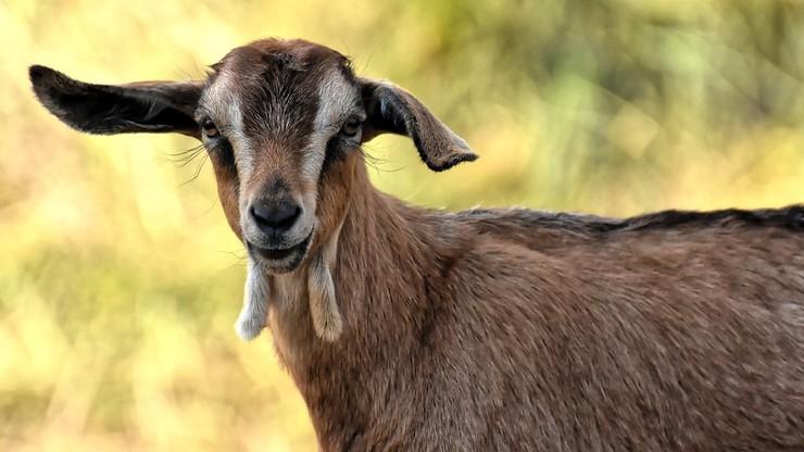 18-latek wiózł w aucie... kozę w skarpetkach. Zatrzymano mu prawo jazdy