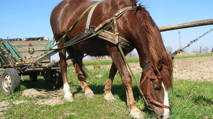 Dzieci jechały wozem konnym na wycieczce szkolnej. Sześcioro jest rannych