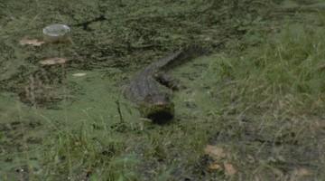 Aligator nad Odrą we Wrocławiu. Zauważyli go spacerowicze