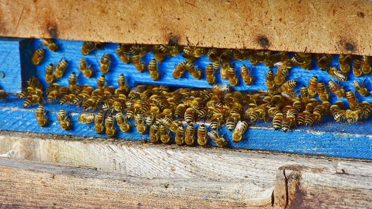 Pszczoły śmiertelnie pożądliły 58-latka. Mężczyzna prawdopodobnie chciał ukraść miód