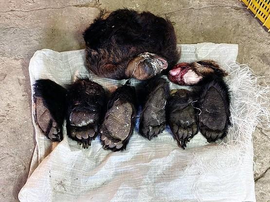 Nie wiadomo, kiedy upolowano niedźwiedzie, których części ciała znaleziono w chłodni