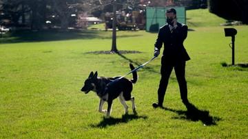 """Pies Bidena ugryzł kolejną osobę w Białym Domu. """"Przyzwyczaja się do otoczenia"""""""