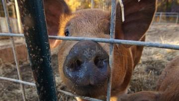 1200 świń padło w zautomatyzowanym chlewie. Nadzorował go Polak