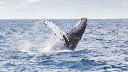 Wieloryby po 40 latach nieobecności w końcu wracają w rejony polarne