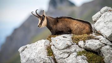 Nieudana akcja liczenia kozic w Tatrach