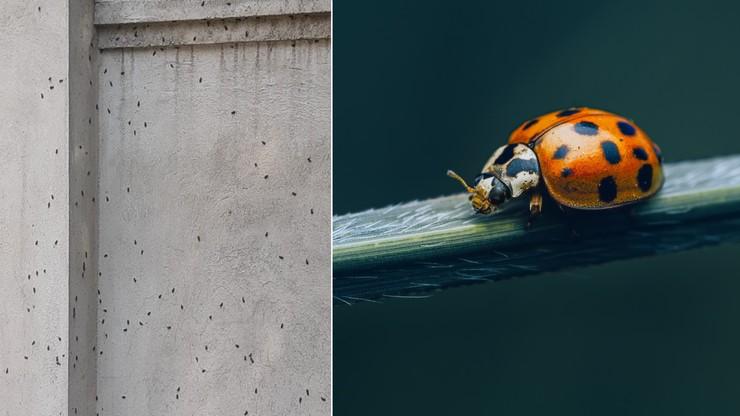 Katowice. Inwazja larw biedronki azjatyckiej. Mogą być groźne