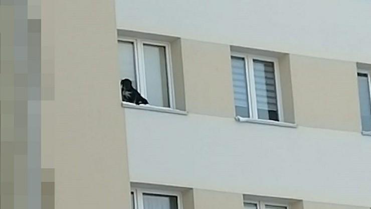 Wystawił psa na parapet na 9. piętrze i zamknął okno
