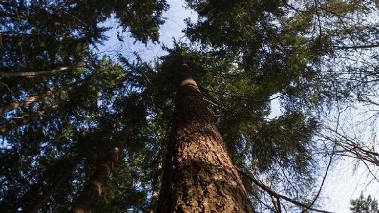 Najwyższe drzewo w Polsce ma 57 metrów. Odkryto je niedawno