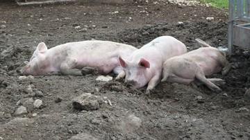 W ciągu kilku dni uśpią ponad 8 tys. świń. ASF na Podlasiu