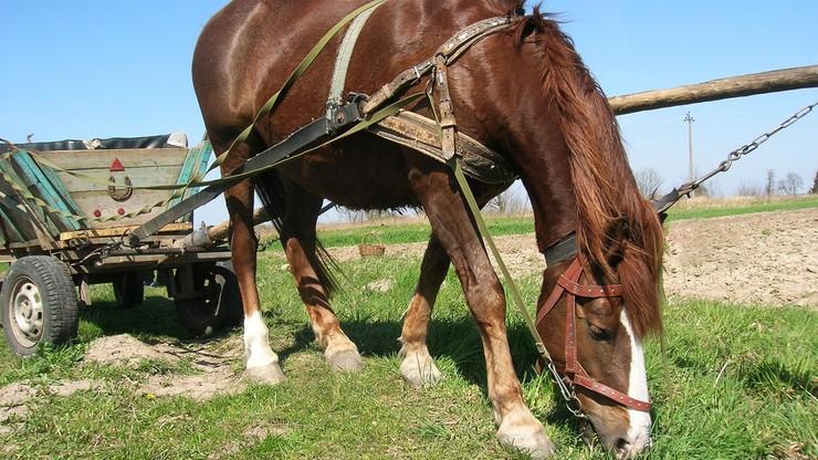 Furmankę wraz z koniem zaparkował w poprzek drogi i poszedł do domu spać. Wjechała w nią skoda