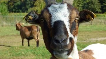 Kozy mają uratować wydmy na Mierzei Kurońskiej