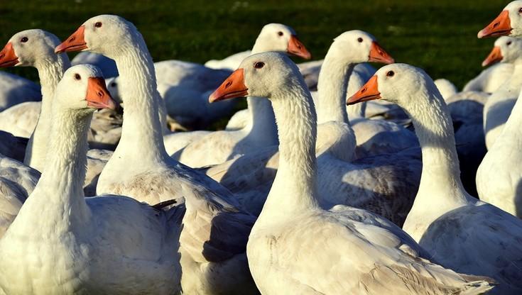 Ptasia grypa zaatakowała gęsi reprodukcyjne