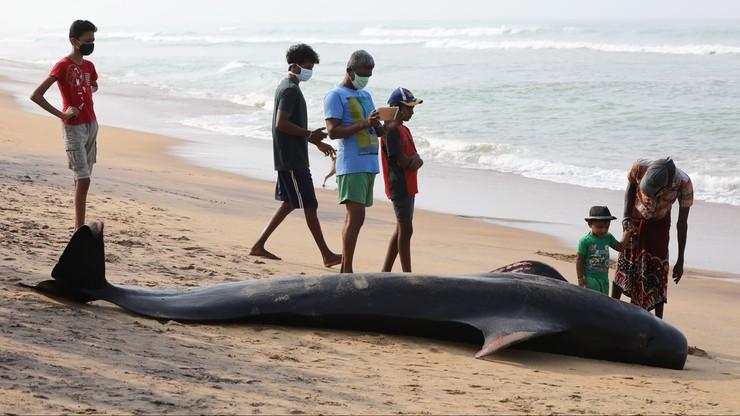 Sri Lanka. Uratowano ponad 100 wielorybów, które utknęły na plaży