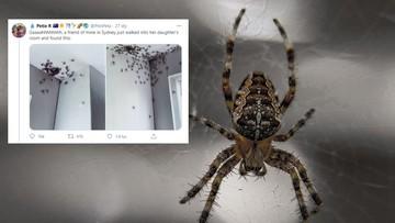Inwazja setek pająków. Wdzierają się do domów i obsiadają sufity