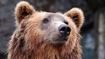 Zakopane: niedźwiedź na osiedlu. Grzebał w śmietniku
