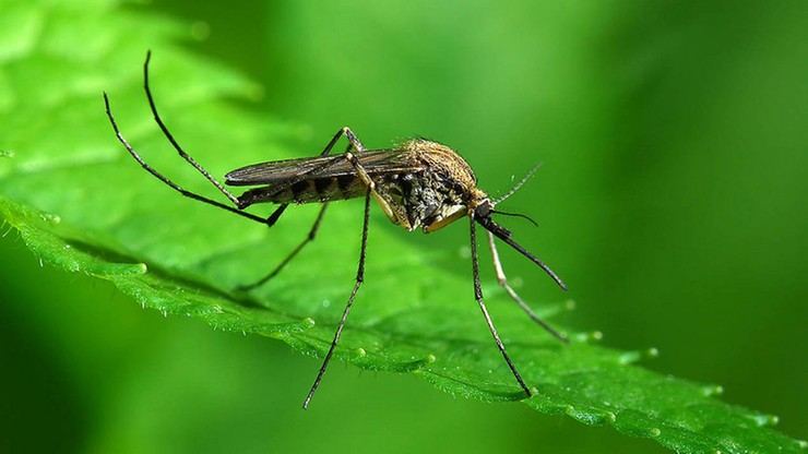 W Rzymie wzrosła liczba zachorowań wywołanych wirusem przenoszonym przez tzw. komary tygrysie
