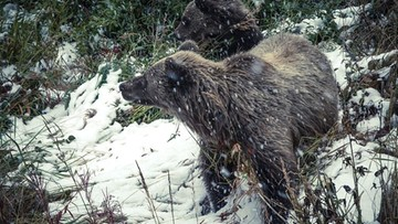"""Kobieta zaatakowana przez niedźwiedzia w wychodku. """"Myślała, że ugryzła ją wiewiórka"""""""