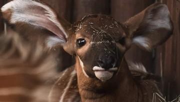 """Zoo szuka imienia dla małej antylopy. """"W naturze żyje tylko około 80 osobników"""""""