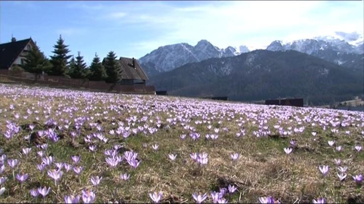 Krokusy w Tatrach już kwitną. Od soboty będą ich pilnować ochotnicze patrole