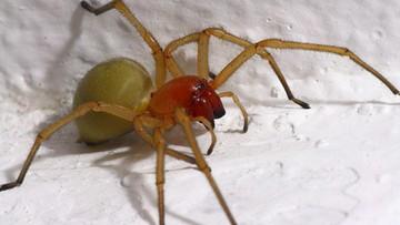 Inwazja jadowitych pająków. Mogły uciec z hodowli