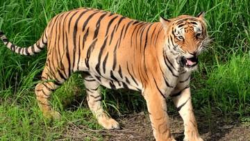 Zabito tygrysicę, która miała polować na ludzi. Wywabiono ją... perfumami Calvina Kleina