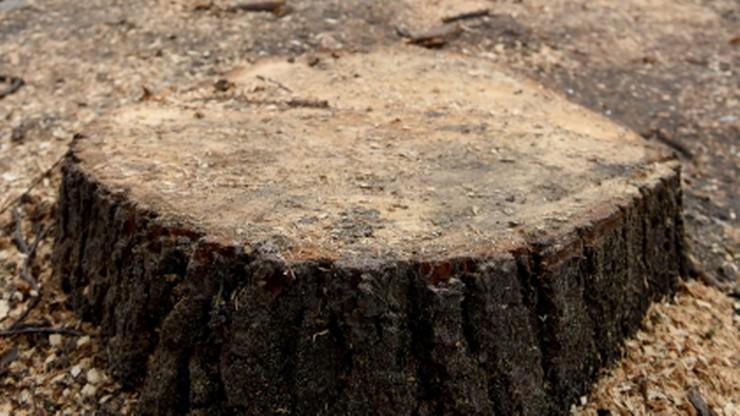 Kijem i marchewką. Gdańsk i Kraków walczą z wycinką drzew