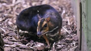 """Myszojeleń z wrocławskiego zoo dostał imię. """"Gabarytami już zbliża się do dorosłych osobników"""""""