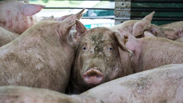 Wielka Brytania. Z powodu braku rzeźników zabito i wyrzucono już 6 tys. świń